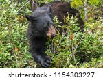bear feeding on berries in... | Shutterstock . vector #1154303227