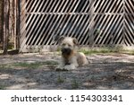 cute shaggy dog looks into the... | Shutterstock . vector #1154303341