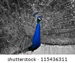 a beautiful male peacock... | Shutterstock . vector #115436311