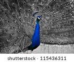 A Beautiful Male Peacock...