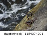 Two Thin Shelled Rock Crabs On...