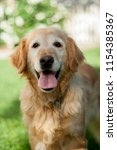 Stock photo a happy older golden retriever playing in the backyard 1154385367