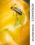 Striped Cucumber Beetle On...