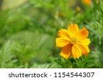 yellow cosmos or cosmos... | Shutterstock . vector #1154544307