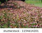 Echinacea Purpurea Or Eastern...