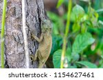 lizard lays on a tree in the... | Shutterstock . vector #1154627461