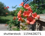Campsis Grandiflora   Trumpet...