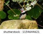 the gouldian finch  erythrura... | Shutterstock . vector #1154644621