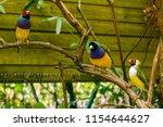 the gouldian finch  erythrura... | Shutterstock . vector #1154644627