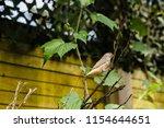 the gouldian finch  erythrura... | Shutterstock . vector #1154644651