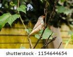 the gouldian finch  erythrura... | Shutterstock . vector #1154644654