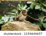 the gouldian finch  erythrura... | Shutterstock . vector #1154644657