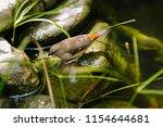 the gouldian finch  erythrura... | Shutterstock . vector #1154644681
