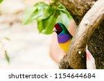 the gouldian finch  erythrura... | Shutterstock . vector #1154644684