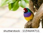 the gouldian finch  erythrura... | Shutterstock . vector #1154644711