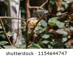 the gouldian finch  erythrura... | Shutterstock . vector #1154644747
