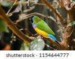 the gouldian finch  erythrura... | Shutterstock . vector #1154644777