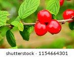 cherry  lat. prunus subg.... | Shutterstock . vector #1154664301