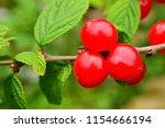 cherry berries on a branch.... | Shutterstock . vector #1154666194