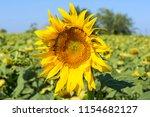 closeup yellow fresh sunflower... | Shutterstock . vector #1154682127