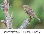 bird robin redbreast   Shutterstock . vector #1154784247