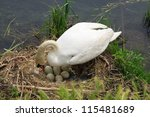 During The Hatching Of Swan On...