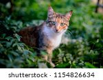 red hair cat in the grass. | Shutterstock . vector #1154826634