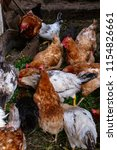 chickens on the farm. toned ... | Shutterstock . vector #1154826661