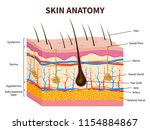 human skin. layered epidermis... | Shutterstock .eps vector #1154884867