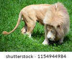 white lion is a rare color... | Shutterstock . vector #1154944984