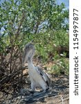 baby pelican hiding near marsh...   Shutterstock . vector #1154997877