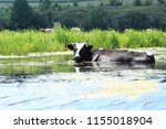 Black Cow In The River ...