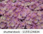 bunch of pink flowers... | Shutterstock . vector #1155124834