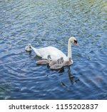 Parent Swans On Lake Teaching...