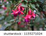 Fuchsia Flower. Beautiful...