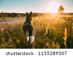 funny mixed breed dog walking... | Shutterstock . vector #1155289507