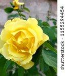 yellow rose closeup | Shutterstock . vector #1155294454