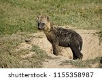 dirty young spotted hyena... | Shutterstock . vector #1155358987