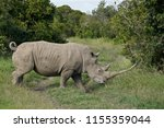 white rhino with curled tail... | Shutterstock . vector #1155359044