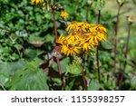 bright daytime butterfly aglais ... | Shutterstock . vector #1155398257