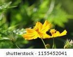 yellow cosmos or cosmos... | Shutterstock . vector #1155452041