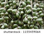 fruits of royal palm ... | Shutterstock . vector #1155459064