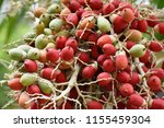 fruits of royal palm ... | Shutterstock . vector #1155459304