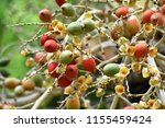 fruits of royal palm ... | Shutterstock . vector #1155459424