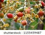 fruits of royal palm ... | Shutterstock . vector #1155459487