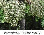 fruits of royal palm ... | Shutterstock . vector #1155459577