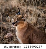 caracal cat scans his... | Shutterstock . vector #1155490297
