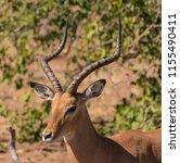 an adult male impala looks... | Shutterstock . vector #1155490411