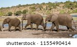 family of elephants walks along ... | Shutterstock . vector #1155490414