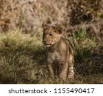 lion cub comes out of his den... | Shutterstock . vector #1155490417